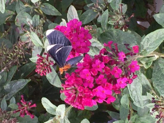 Miss Molly' Butterfly Bush Buddleia