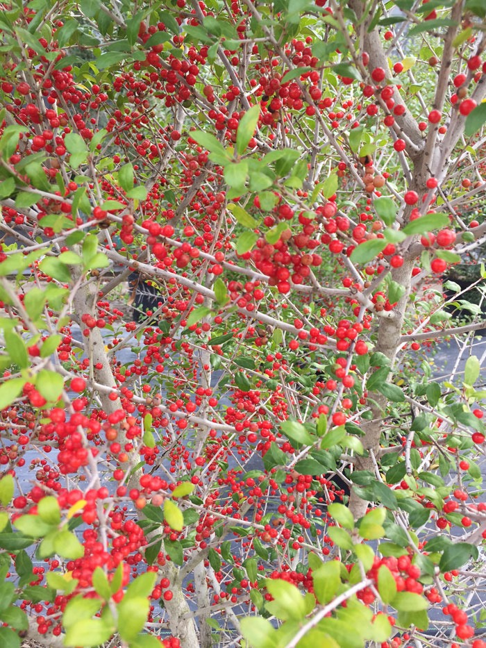 Possumhaw Holly (Ilex decidua) Warren's Red'