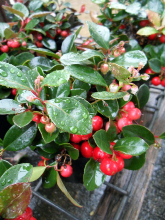 Wintergreen (Gaultheria procumbens)