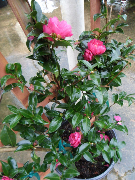 October Magic® Rose™ Camellia
