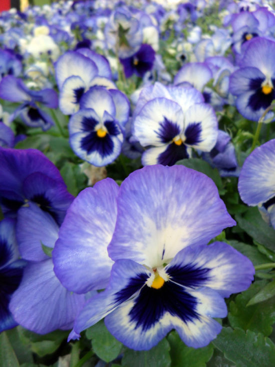 Matrix® Blue Frost Pansy