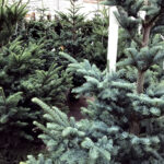 The very best premium trees grown in USA