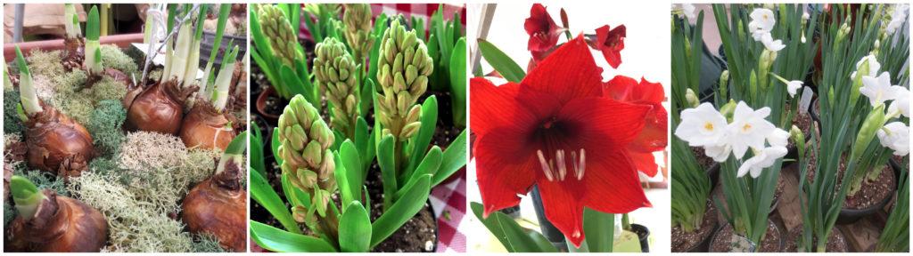 Easiest Bulbs to Start Indoors   North Haven Gardens