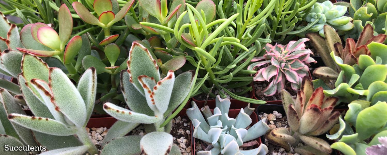 Succulents copy