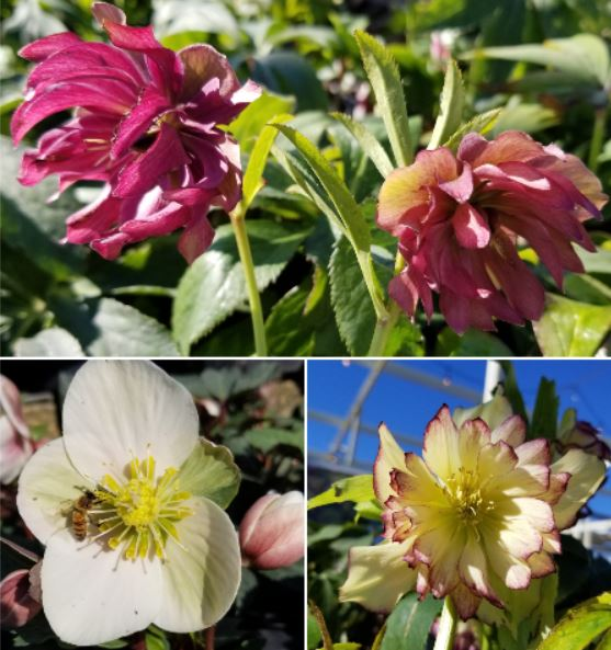 Heavenly Hellebores Are Here!